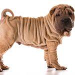 Ancient Dog Breeds
