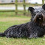 Breed Spotlight: Skye Terrier