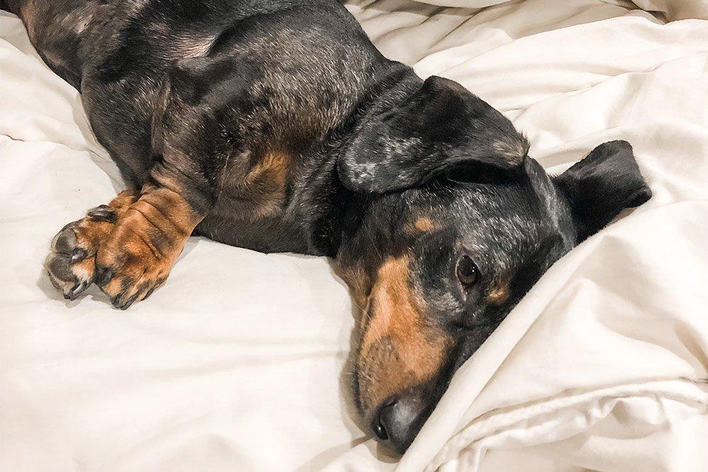 A sad dog lying on a bed