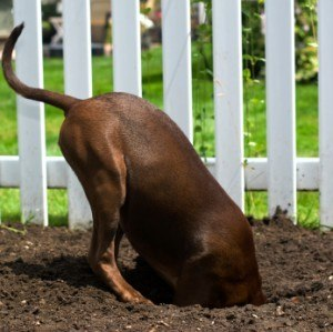dog digging under physical fence invisible fence used to stop escaping dogs