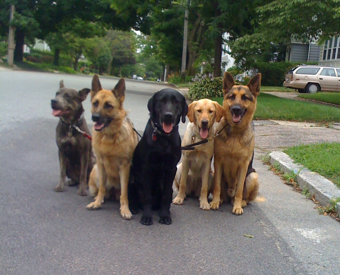 Very Big Dogs Dog packs thrive with alpha